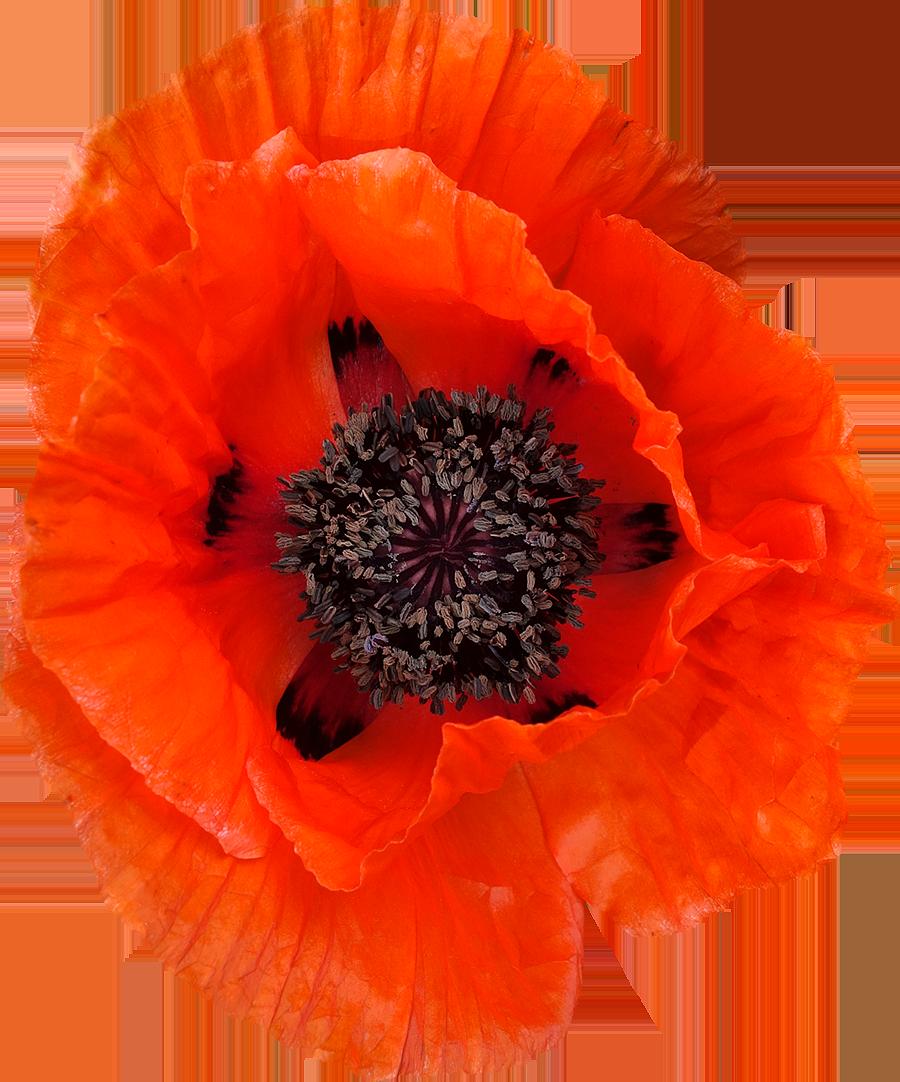 Photos de fleurs d tour es au format png libres de droits gratuites free - Catalogue de fleurs gratuit ...
