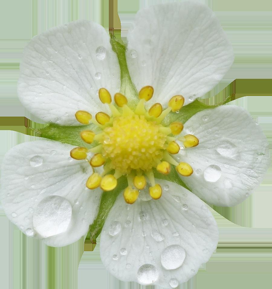 Préférence Photos de Fleurs détourées au format PNG Libres de Droits  MR38