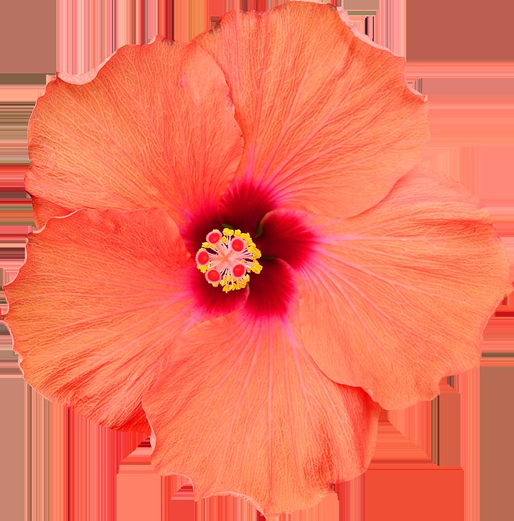 Bien-aimé Photos de Fleurs détourées au format PNG Libres de Droits  VY79