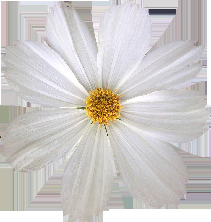 Très Photos de Fleurs détourées au format PNG Libres de Droits  QU77