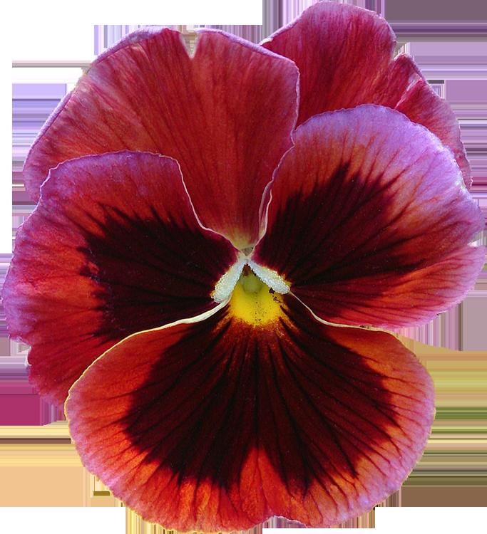 index of photos du monde fleurs png detourees gratuites free 300dpi libres de droits. Black Bedroom Furniture Sets. Home Design Ideas