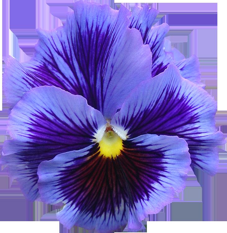 Populaire Photos de Fleurs détourées au format PNG Libres de Droits  VD32