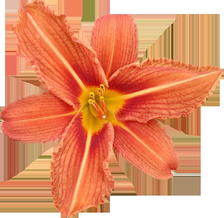 Top Photos de Fleurs détourées au format PNG Libres de Droits  FI55
