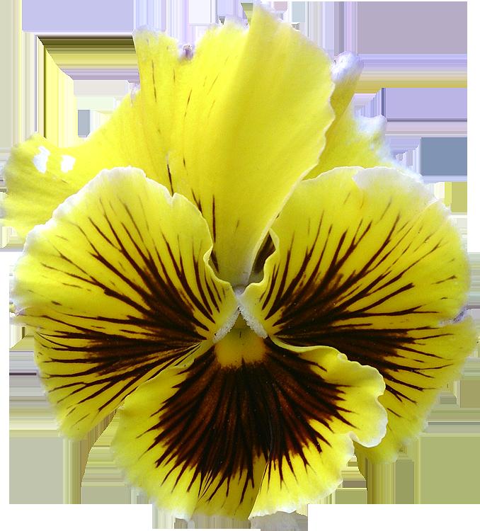 Extrêmement Photos de Fleurs détourées au format PNG Libres de Droits  AE78