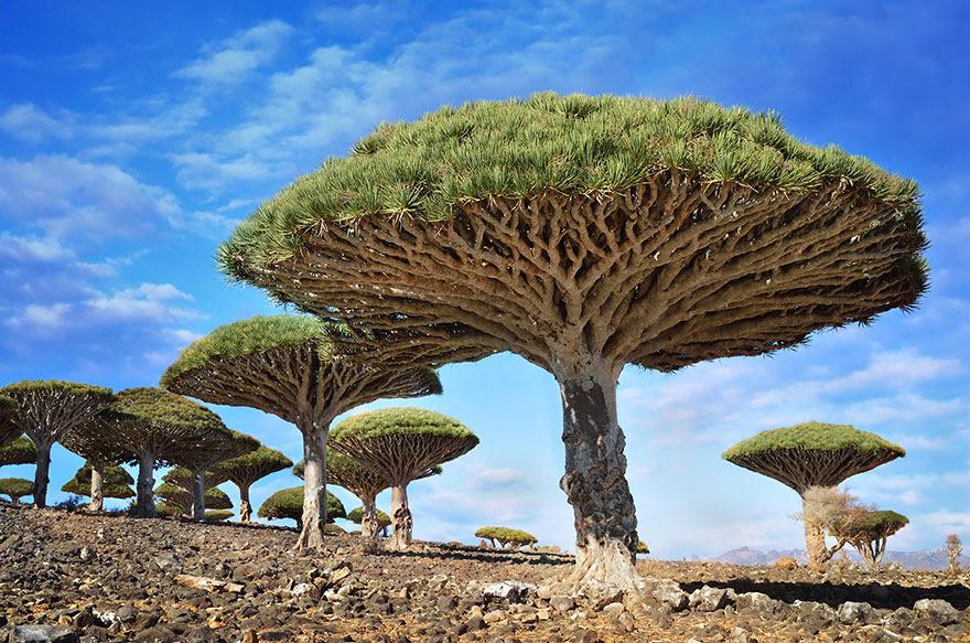 Les plus beaux arbres du monde immenses uniques - Arbre fruit du dragon ...