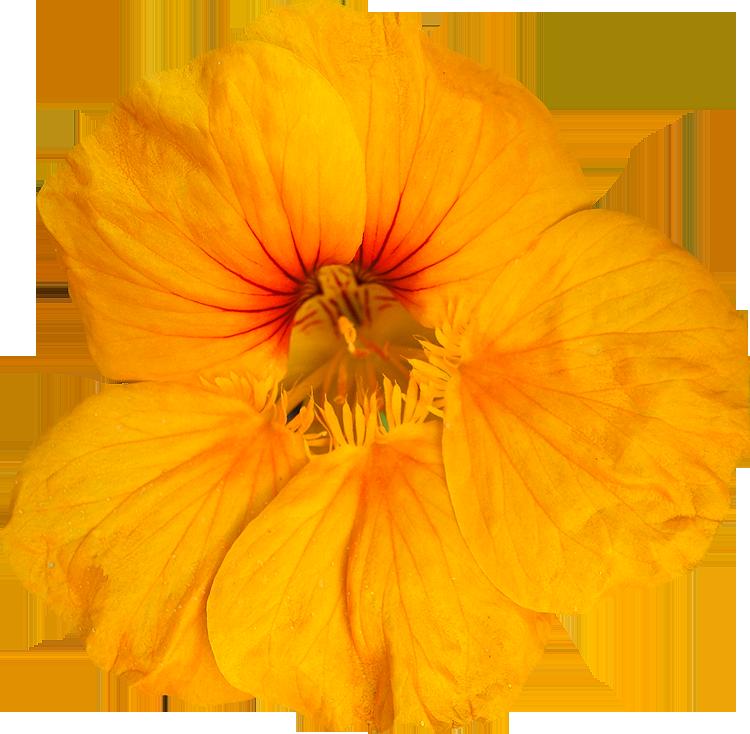 Photos de Fleurs détourées au format PNG Libres de Droits